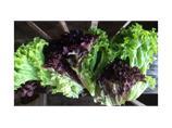 Salat lollo rød eller grønn